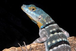Baja blue rock lizard (Petrosaurus thalassinus)