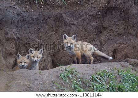 Bakken Formation Wildlife; Red Fox pups at  their den in the prairie habitat of western North Dakota, where the oil boom has led to rapid industrial development, causing environmental concerns