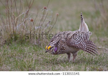 Bakken Formation Wildlife; Sharp-tailed Grouse on breeding grounds in the prairie grassland habitat of western North Dakota, where the oil boom has led to rapid development and habitat destruction