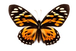Balck and orange butterfly Papilio zagreus isolated on white background