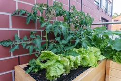 balcony garden with lettuce, tomato and other plants in big raised beds in front of a red brick stone house wall - stands for urban gardening and self sufficiency lifestyle trend