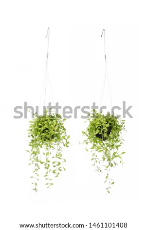 balcony plants, beautiful, best indoor, ceiling space, climber, coin-shaped, coin-shaped leaves, containers, decor, decoration, display, epiphytes, filtered light, foliage, freshness, front and back,  #1461101408