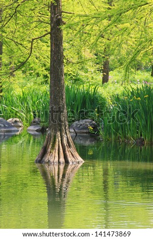 bald cypress and pond