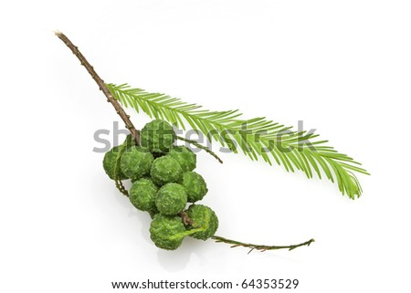 Bald Cypress Cones and Leaves
