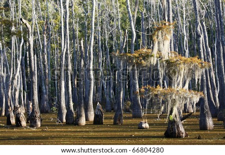 Bald Cypress Swamp in the Fall