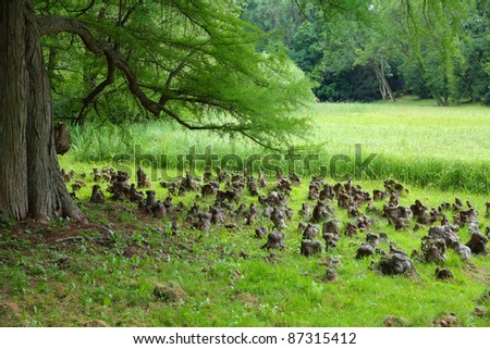 Bald cypress (Taxodium distichum) tree. Poland - arboretum in Kornik. Largest and oldest arboretum garden in Poland. Greater Poland province (Wielkopolska).