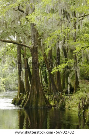 Bald Cypress Trees Along the River in Springtime - stock photo