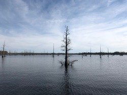 Bald Cypress trees in bayou on a sunny and cloudy day in Louisiana, USA. Bayou is a body of water typically found in a flat area, while Bald cypress tree is the official state tree of Louisiana.