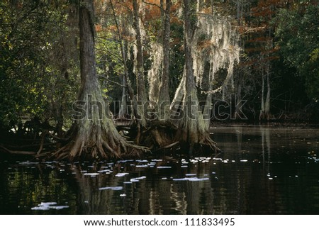 Bald cypress trees in swamp