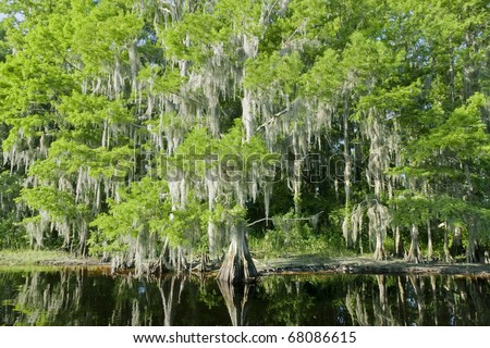 Bald Cypress Trees reflecting in the water in a florida swamp on a warm summer day