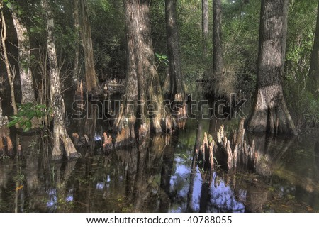 Bald Cypress trees with roots (knees) in the Florida everglades