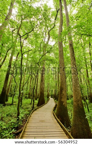 Bald cypresses in Congaree National park, South Carolina