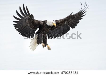 Bald Eagle #670355431