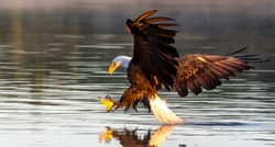 Bald Eagle about to capture fish on water with outstretched talons and spread wings on Beatons Lake in Gogebic County in the Ottawa National Forest in the Upper Peninsula of Michigan.