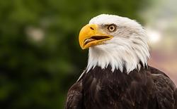 Bald Eagle Adler Bird Beak.