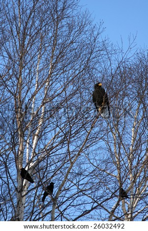 bald eagle and ravens sit on branch tree in expectation of the catch