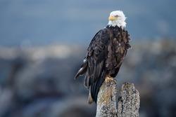Bald Eagle at Alaska