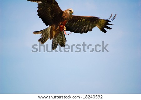 bald eagle attack