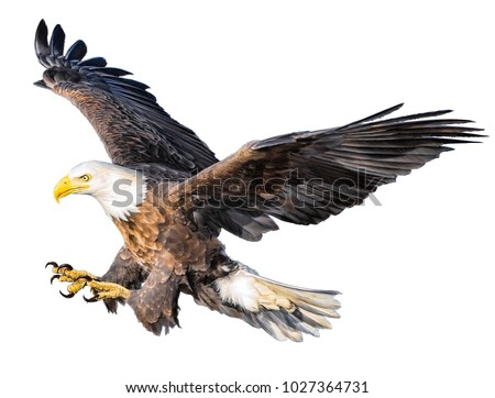 Bald eagle attack swoop hand draw and paint color on white background illustration.
