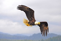 Bald eagle. British Columbia. Canada.