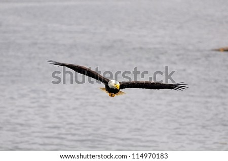 Bald eagle. British Columbia. Canada.