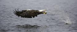 Bald eagle catching fish, panorama