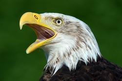 Bald Eagle close up against a vibrant green background/Bald Eagle/Bald Eagle (haliaeetus leucocephalus)