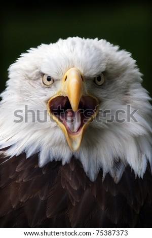 Bald Eagle close up portrait
