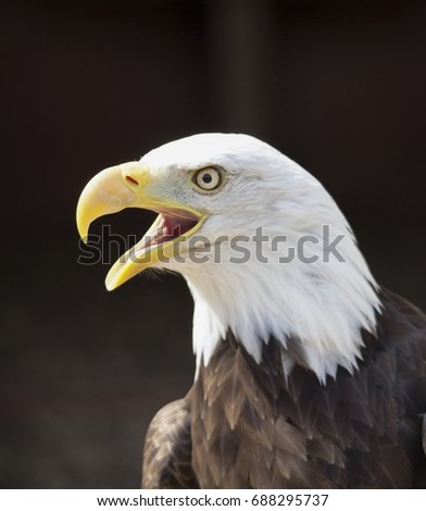 Shutterstock Bald eagle close up with it's beak open