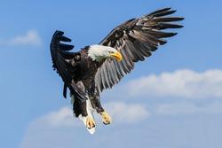 Bald eagle coming down. A majestic bald eagle prepares to land.