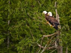 bald eagle Couple in a tree