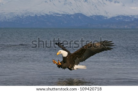 Bald Eagle descending on prey.