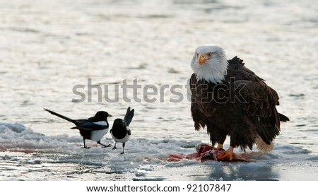 Bald Eagle feeding on the salmon with magpie.