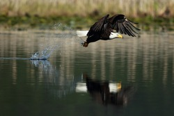 Bald Eagle fishing with a reflection