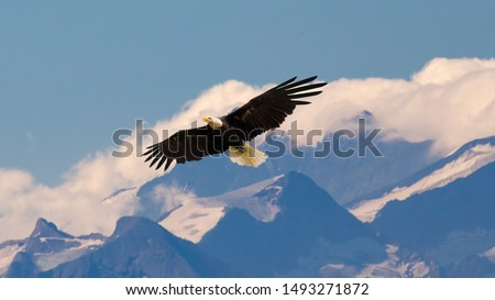 Bald eagle flying and gliding slowly and majestic on the sky over high mountains. Concept of wildlife and pure nature. #1493271872