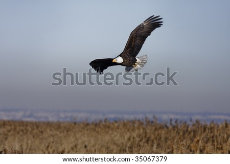 Bald Eagle flying by to find another spot to hang out.
