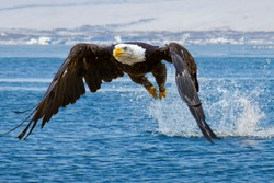 Bald eagle flying on top of lake, creating big splash, trying to get some fish