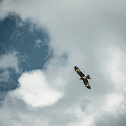 Bald Eagle flying over blue sky and clouds