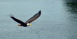 bald eagle flying over the sea in Ketchikan, Alaska. Bald eagle close up detail