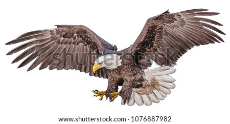 Bald eagle flying swoop hand draw and paint color on white background illustration.