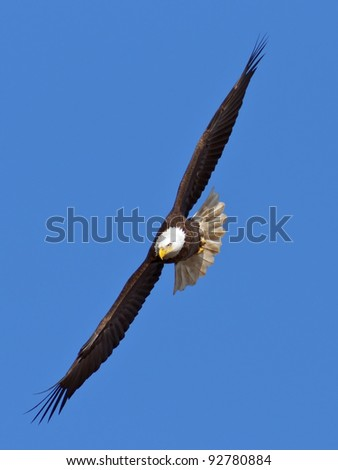 Bald Eagle flying toward the viewer with blue sky background.