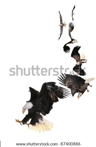 Bald Eagle (Haliaeetus leucocephalus) composite. A bird of prey the Bald Eagle is found in Canada, Alaska, the contiguous United States. It is the national bird of the United States of America.