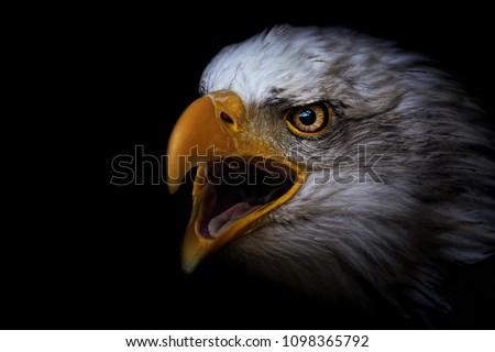 Bald Eagle (Haliaeetus leucocephalus) detail of the head of this predator Foto d'archivio ©
