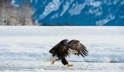BALD EAGLE ( Haliaeetus leucocephalus ) eagle about to land . Chilkat River Alaska USA America