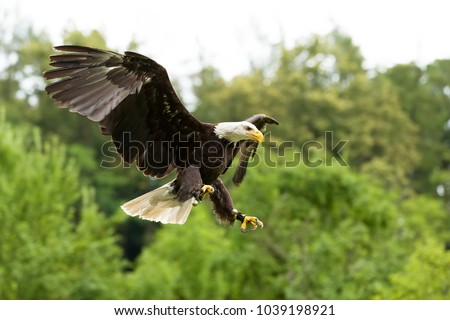 Shutterstock Bald eagle (Haliaeetus leucocephalus). Eagle in captivity, Falconry bird trained for hunting