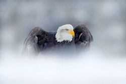 Bald Eagle, Haliaeetus leucocephalus, flying brown bird of prey with white head, yellow bill, symbol of freedom of the United States of America. Bald eagle in flight with open wings.