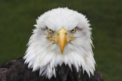 Bald Eagle (Haliaeetus leucocephalus) head portrait (captive)