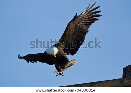 Bald Eagle (Haliaeetus leucocephalus) is a bird of prey found in North America.