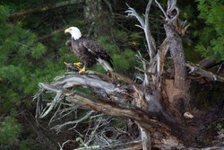 Bald Eagle (Haliaeetus leucocephalus) perching on a fallen tree with a fish in its talons on the Rainbow Flowage in Northern Wisconsin, horizontal