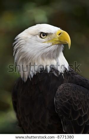 Bald Eagle (Haliaeetus leucocephalus) the United States national bird